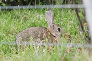 An infestation of rabbits are digging holes and chewing up the fields at Greymouth's Marist Rugby Club. Photo / File