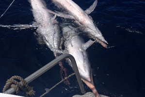 The striped marlin left dead on the water after being caught in a net. Photo / Supplied