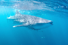 Whale sharks visit the Ningaloo Reef in Western Australia between March and June. Photo / Getty Images