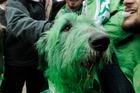 Chicago Mayor Rahm Emanuel left, poses for a photo with 'Shamrock' the green dyed Irish Wolfhound. Photo / AP