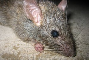 Rats are breeding and on the move in Rotorua.