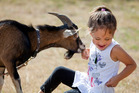 Alize Ngaronga, 6, is happy to have her playmate - pet goat Stanley - back on home turf. Photo / John McCombe