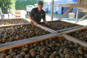 Katikati Kiwifruit grower, Ian McCormick. Photo / John Borren