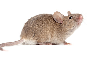 Exterminators say the extended hot weather has resulted in rodents breeding more often. Photo / Getty Images