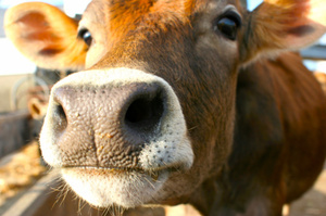 A cow has been killed in a three car crash in Wellington.Photo / Thinkstock