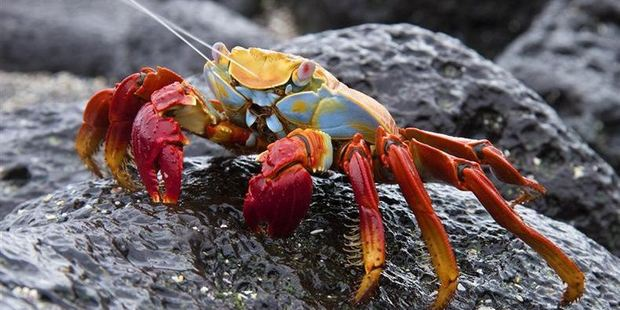 Dunedin photographer Ken Trevathan struck gold with this image of a Sally Lightfoot crab (Grapsus grapsus) squirting liquid. Photo / Ken Trevathan
