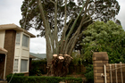 Epsom residents are powerless to stop the ancient tree, left unprotected after changes to the RMA, from being cut down. Photo / Dean Purcell