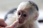 Capuchin monkey 'Mally' sits on the head of an employee in an animal shelter in Munich, Germany. Photo / AP