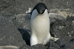 Beaufort Island's Adelie penguin colony is thriving. Photo / Mark Mitchell