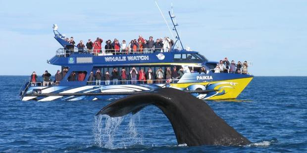 A sperm whale dives in front of the Kaikoura Whale watch vessel. Photo / NZH