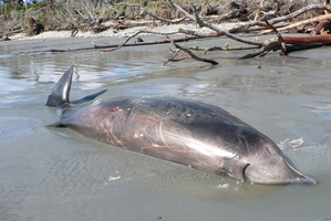 The rare beaked whale which died at Bruce Bay in South Westland yesterday. Photo / Department of Conservation