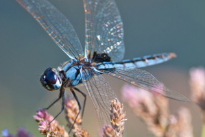 Researchers have created a flying robot that looks like a dragonfly. Photo / Thinkstock