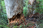 Dieback-affected Kauri at Albany. Photo / Doug Sherring