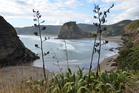Flax at Piha, on Auckland's west coast. Seeds from these are ripe for seed saving. Photo / Meg Liptrot