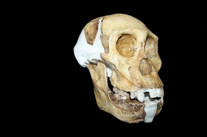 A reconstructed skull and jaw of Australopithecus sediba. Photo / AFP