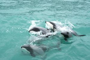 There are an estimated 7270 South Island Hector's dolphins and as few as 55 North Island Hector's dolphin. Photo / Black Cat Cruises