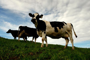 Dairying in Georgia is usually more profitable than in New Zealand. Photo / File