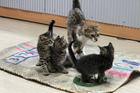 The Napier SPCA is currently housing over 50 cats and kittens. Photo / Duncan Brown