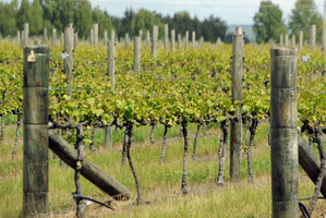 Grape vines in Martinborough, a popular wine growing region in NZ. Photo / Ross Setford
