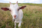 While we've all been happily consuming more and more goat dairy produce, few have thought to cut to the quick of its darker side. Photo / Thinkstock