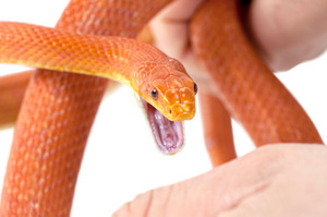 Nanosponges could help removed the venom found in the blood stream after a snake bite. Photo / Thinkstock