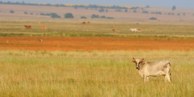 Encountering cattle is not exactly what a traveller to Africa hopes for. Photo / Thinkstock