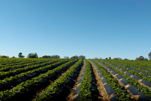 At least 20 migrant strawberry pickers have been shot and wounded in Greece. Photo / Thinkstock