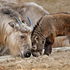 A male Sichuan takin kid born in January 2013 makes an appearance at the Los Angeles Zoo. The male of four goat antelopes are normally found in the mountains of China. Photo / AP