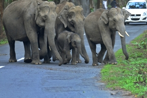 A herd of wild elephants crosses a highway after drinking from a stream near the Muthanga wild life sanctuary at Muthanga in Kerala state, India. Photo / AP