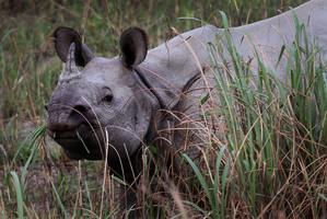 A one horned Rhinoceros. Photo / AP