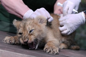 An Asian lion is checked by an animal doctor at Budapest Zoo and Botanic Garden. Photo / AFP