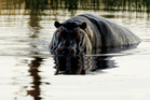 The hippo is one of the most dangerous animals in Africa. Photo / Thinkstock