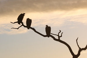 Only predators and vultures do well by chasing the herd. Photo / Thinkstock