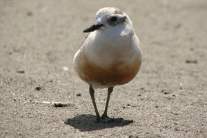 The New Zealand dotterel. Photo / File photo
