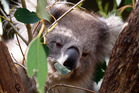 Chlamydia in fatal combination with an HIV-type virus is spreading through Australia's koalas. Photo / Sarah Ivey