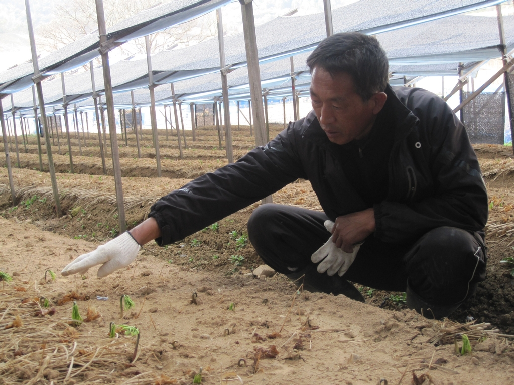 Ginseng farming is big in Korea and they can make plenty of money. It takes six years for Ginseng to mature and is grown undercover.