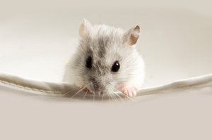 Researchers implanted a Micro Mote inside a mouse tumour. Photo / Thinkstock