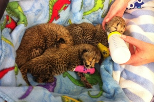 Three newborn cheetah cubs at the After Hours Veterinary Hospital in Christchurch. Photo / Kurt Bayer