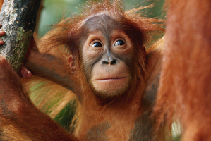 Emily Bland developed a special friendship with an Orangutan. File photo / Getty Images