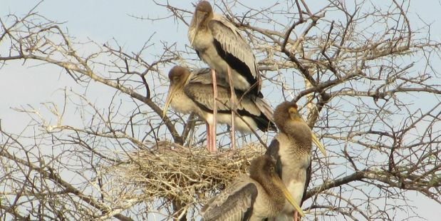 Juvenile painted storks in the Keoladeo National Park. Photo / Suzanne Middleton