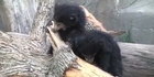Raw: Sloth bear cubs unveiled 