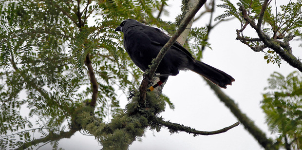 Duncan the kokako is a poor flyer but somehow found his way from Waitakere to Glendowie. Photo / Michael Craig