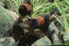 Saddleback birds. Photo / Supplied