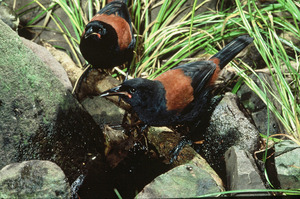 Saddleback birds. Photo / Supplied