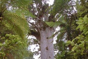 Our most iconic kauri, Tane Mahuta. Photo / APN
