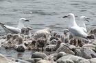 Nesting Black-billed gulls. Photo / File / Aalbert Rebergen