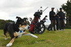 Golf-loving Bossdin prepares to fetch for his playing partners. Photo / Stephen Jaquiery