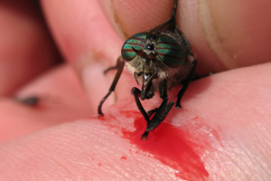 The bite of the bot fly can lead to parasites living under the flesh. Photo / Thinkstock