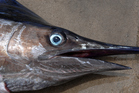Several blue marlin have been caught off the Northland coast. File photo / Thinkstock