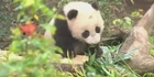 Watch:  Baby panda plays & cuddles  with Mum
